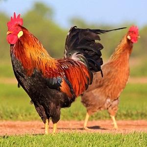 chicken 3547113 1280 - Chickens
