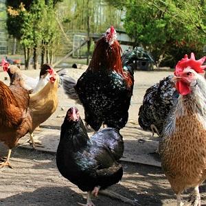 chickens 1221342 1280 - Chickens