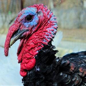 turkey bird 882821 1280 - Turkeys