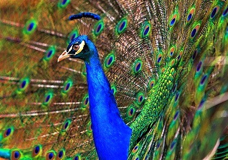24 1 - Peafowls