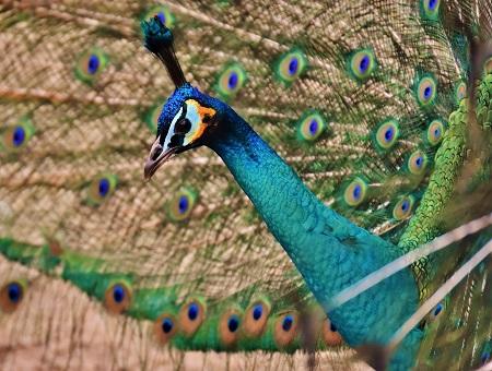 peacock 2147887 1280 - Peafowls