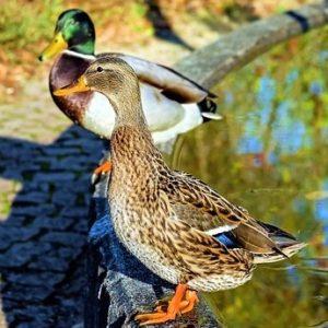 duck 1850232 640 300x300 - Ducks