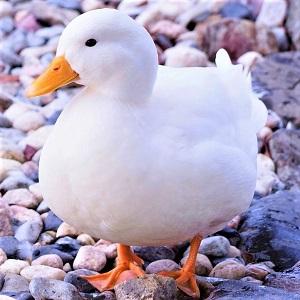 duck 2487217 1280 1 - Ducks