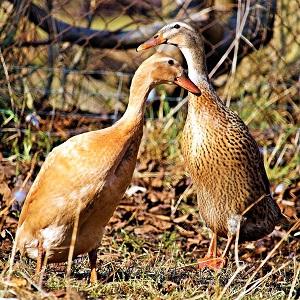 duck 3219283 1280 - Ducks
