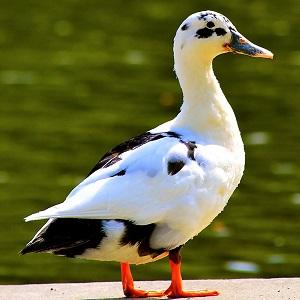 mallards mongrel 2316820 1280 - Ducks