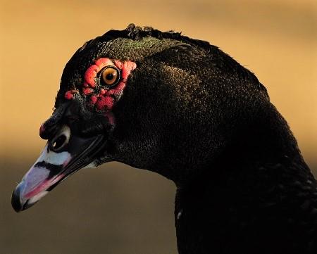 duck 1289234 1280 - Ducks