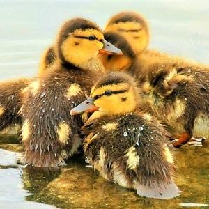 mallard ducklings 940513 640 - Ducks