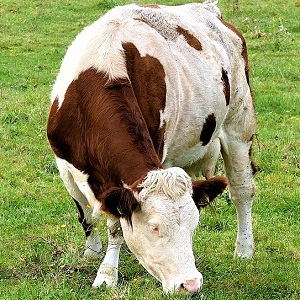 cow 2897589 1280 - Cattle