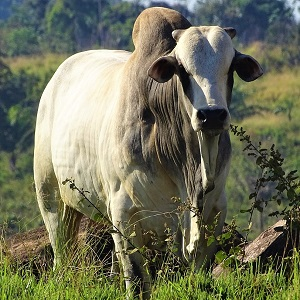 cow 4267872 1280 - Cattle