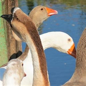 geese 1952506 640 - Geese