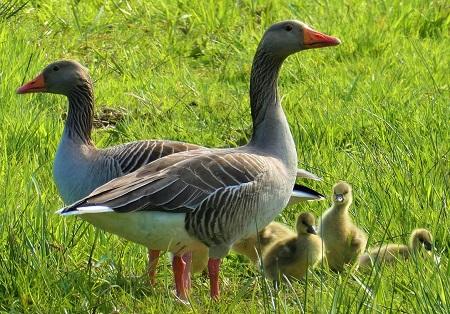 geese 4128803 1280 - Geese