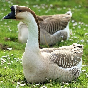 goose 3325945 1280 - Geese