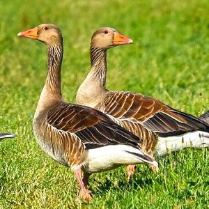 goose 3526503 1280 - Geese