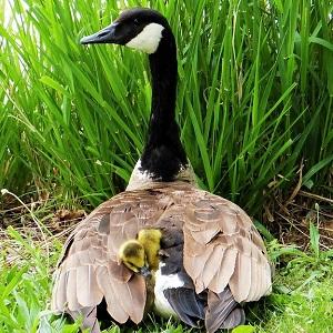 gosling 71143 1280 - Geese