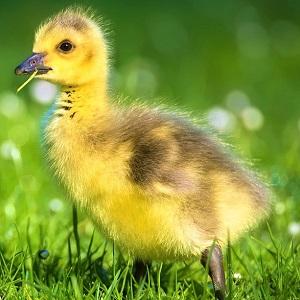 goslings 2292421 1280 - Geese