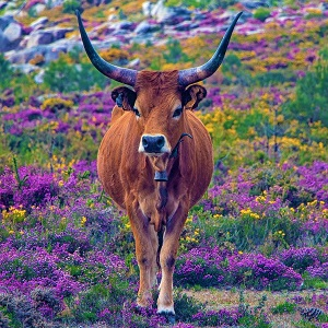 portugal 4216645 1280 - Cattle