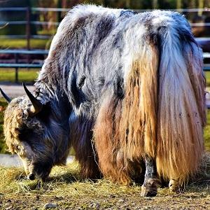 wool beef 3148953 1280 - Cattle
