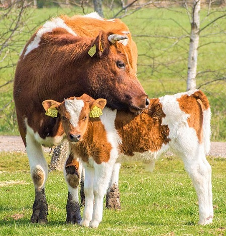 5 - Cattle