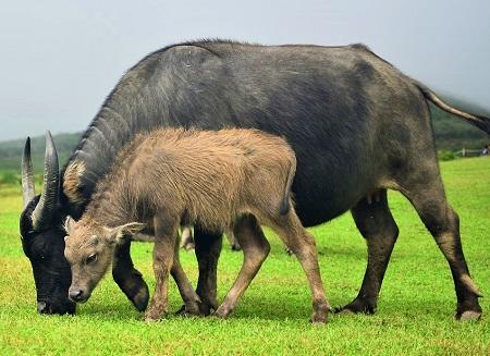 mammal 3155733 1280 - Cattle