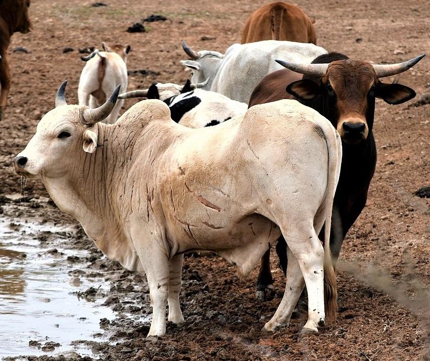 nguni cattle 3662037 1280 1 - Cattle