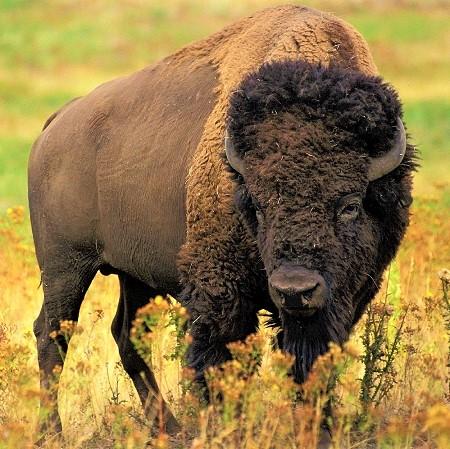 bison 526805 1280 - Cattle