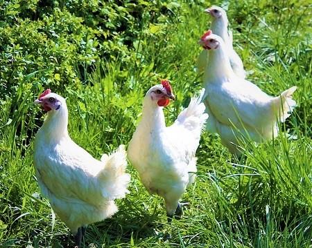 5 - Bresse Gauloise Chicken