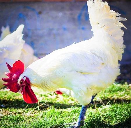 bresse gauloise bresse chicken chicken poultry animal birds 3 1 - Bresse Gauloise Chicken