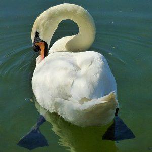 nature 2072818 1280 300x300 - Swans