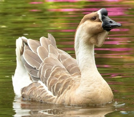 animal 2649546 1280 - Geese