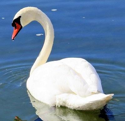 swan 335911 1920 - Swans