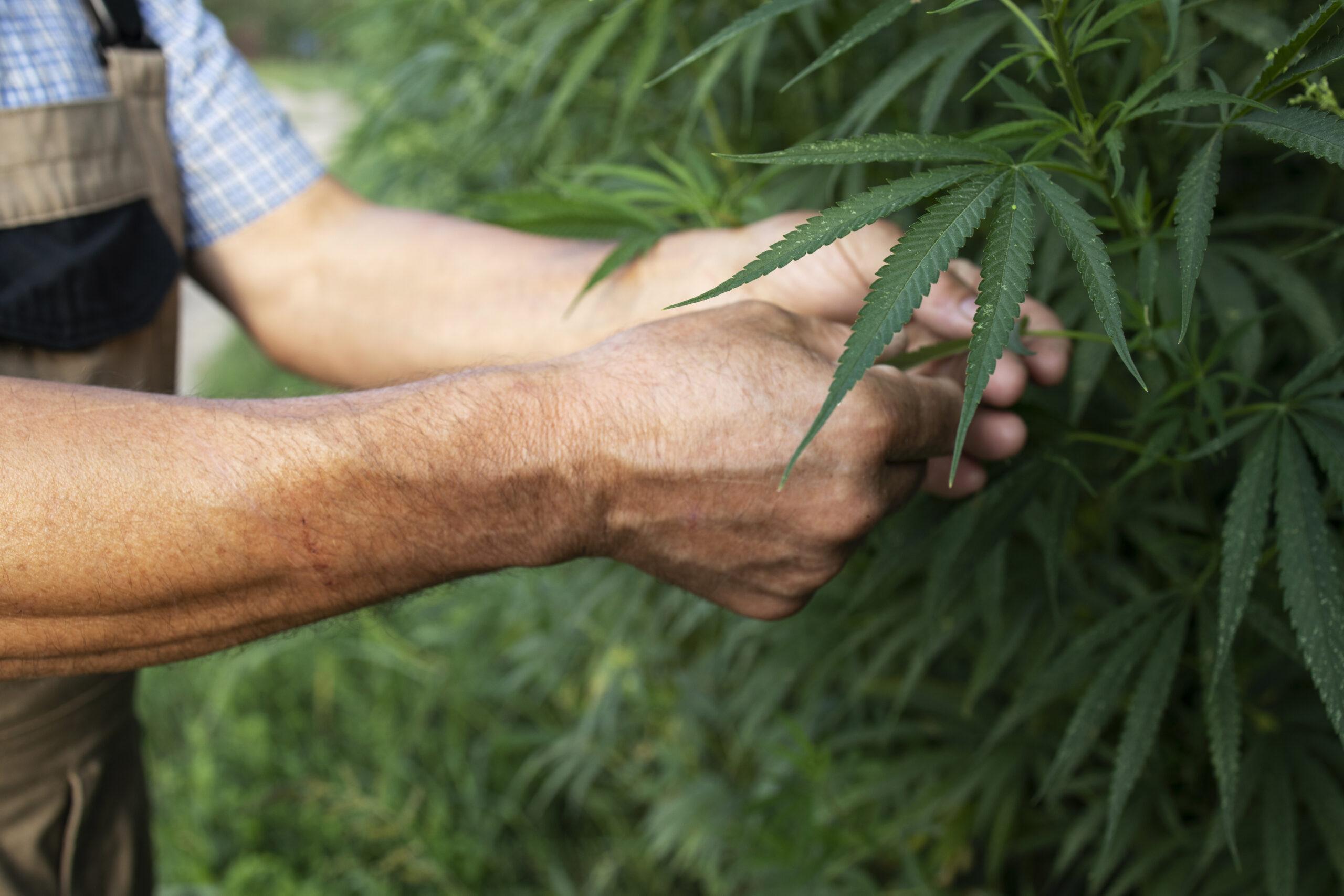 Growing cannabis or hemp plants for alternative medicine.