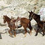 Grand Canyon Postal Service Mule Mail