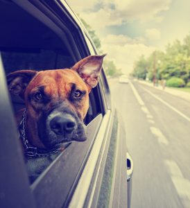 a cute pit bull boxer mix riding in a car toned with a retro vin