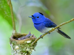 Father Of Black-naped Blue Flycatcher Bird Guarding Its Chicks I