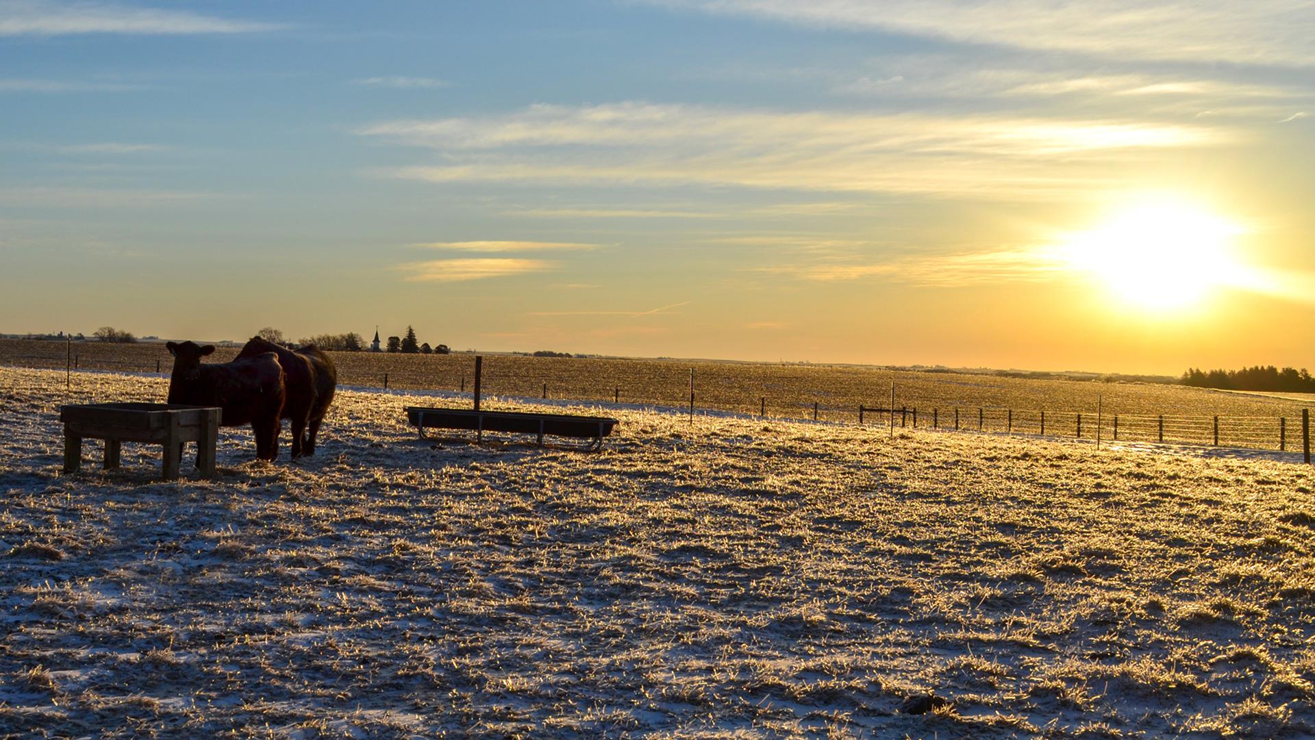 Heifers-Sunset