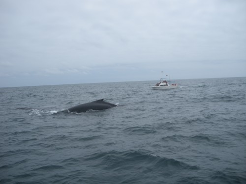 Whale Watching in Puerto Lopez Ecuador