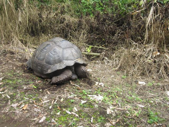galapagos-turtle-ecuador