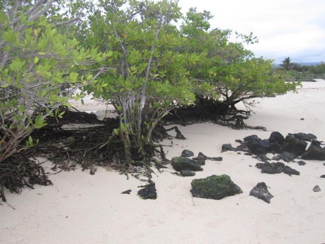 mangrove-ecuador