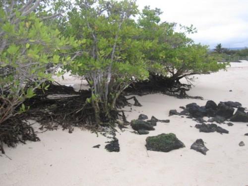 mangrove-ecuador1-500x375