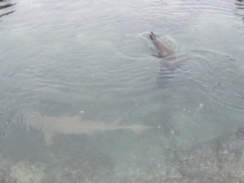 sharks-galapagos