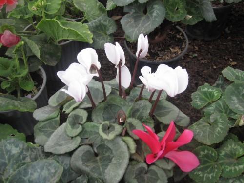 cyclamen-flower-ecuador