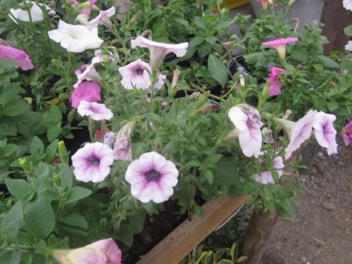 petrunias-flower-ecuador