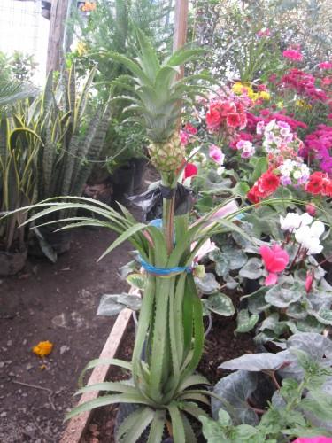 pineapple-ecuador