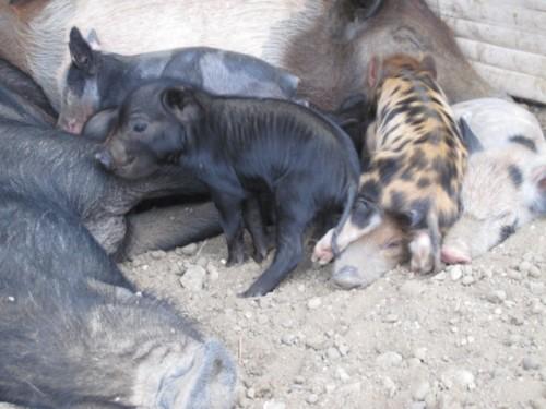 pigs-ecuador