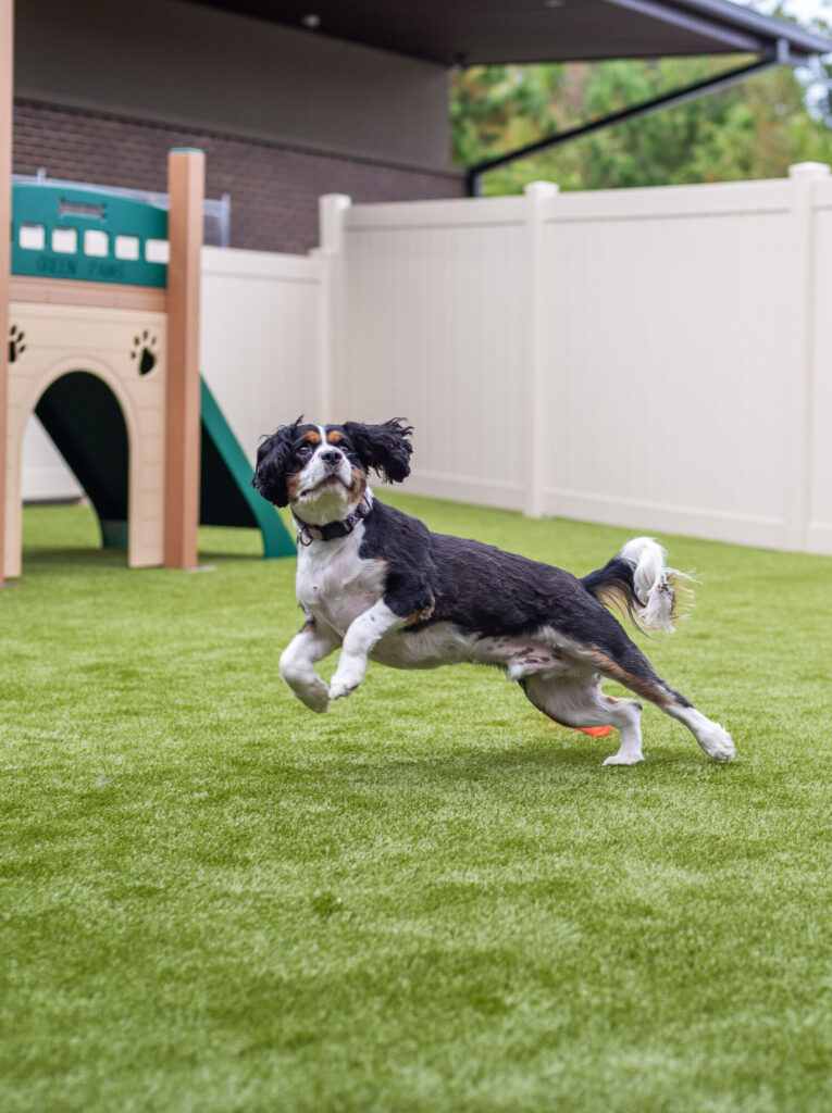Dog Plays in Play Yard at Doggy Day Care