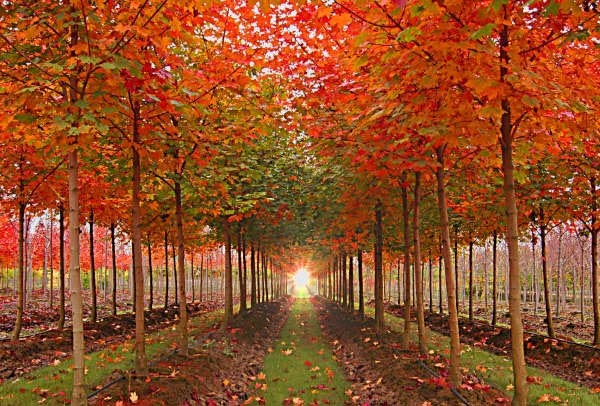 Norwegian & Pacific Sunset Maples Fall Color