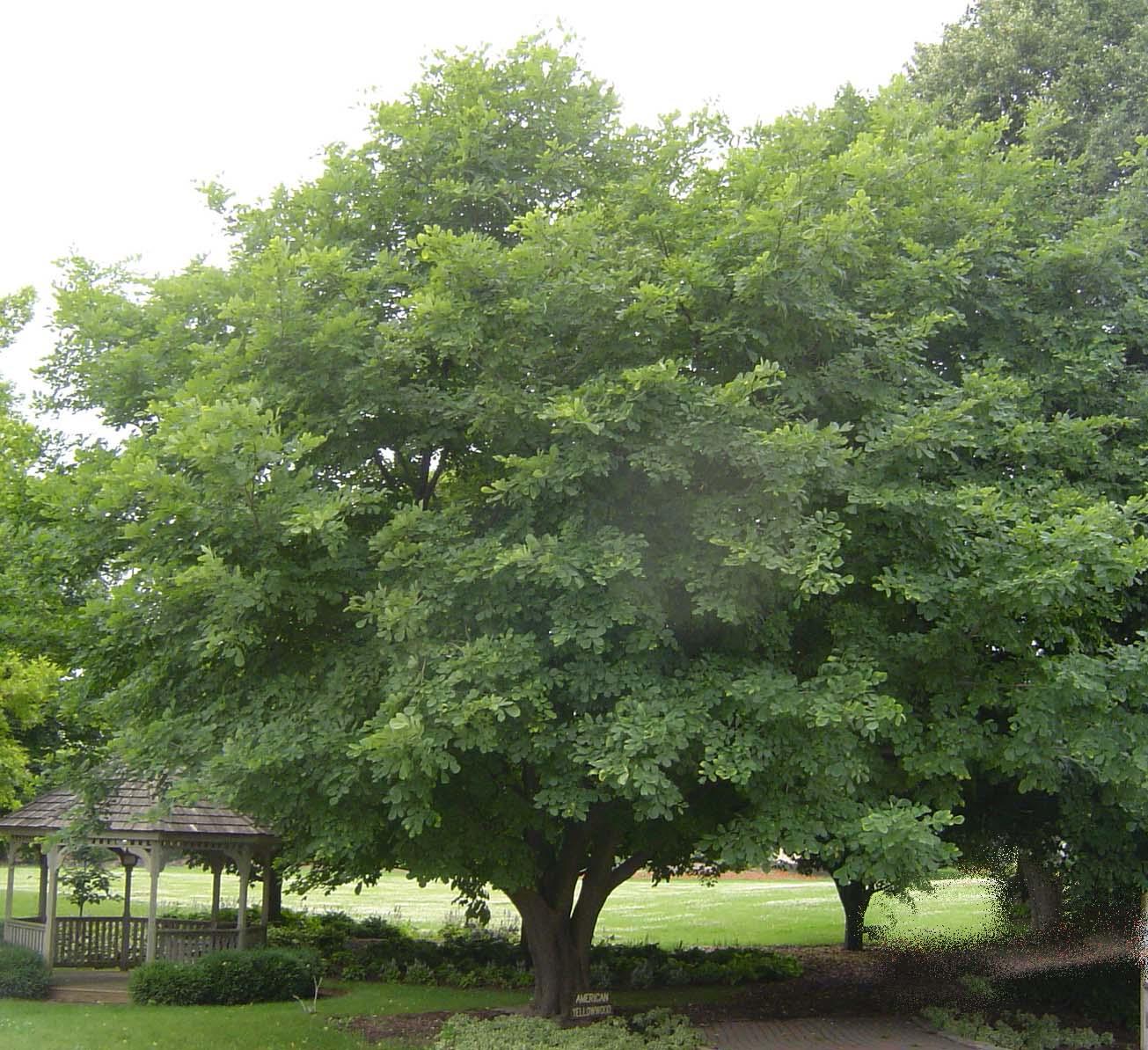 Mature American Yellowwood