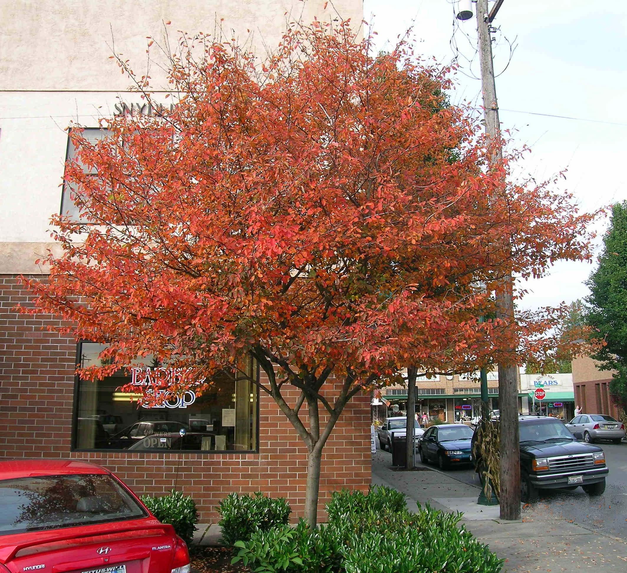 Autumn Brilliance Serviceberry Fall Color