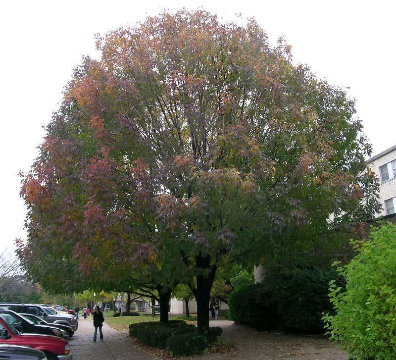 Mature Autumn Purple Ash