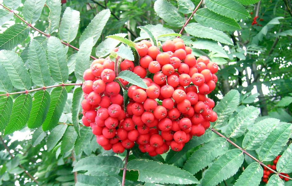Cardinal Royal Mountain Ash Berries